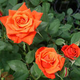 "Роза ""Миниатюр Оранж"" (Rosa Miniature Orange)"